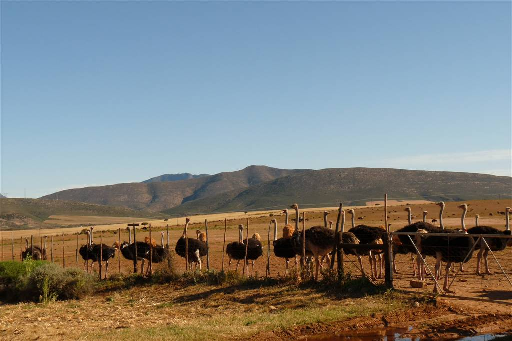 resized_3. Ostriches - Helen Eaton