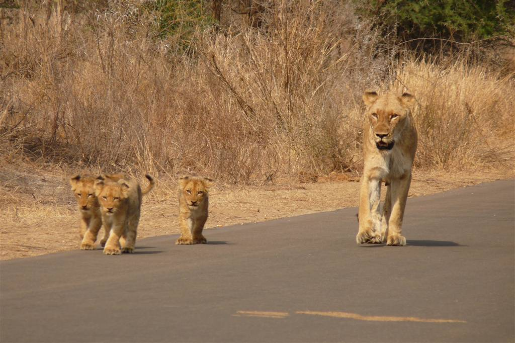 resized_6. Lions in the Kruger Park - Helen Eaton