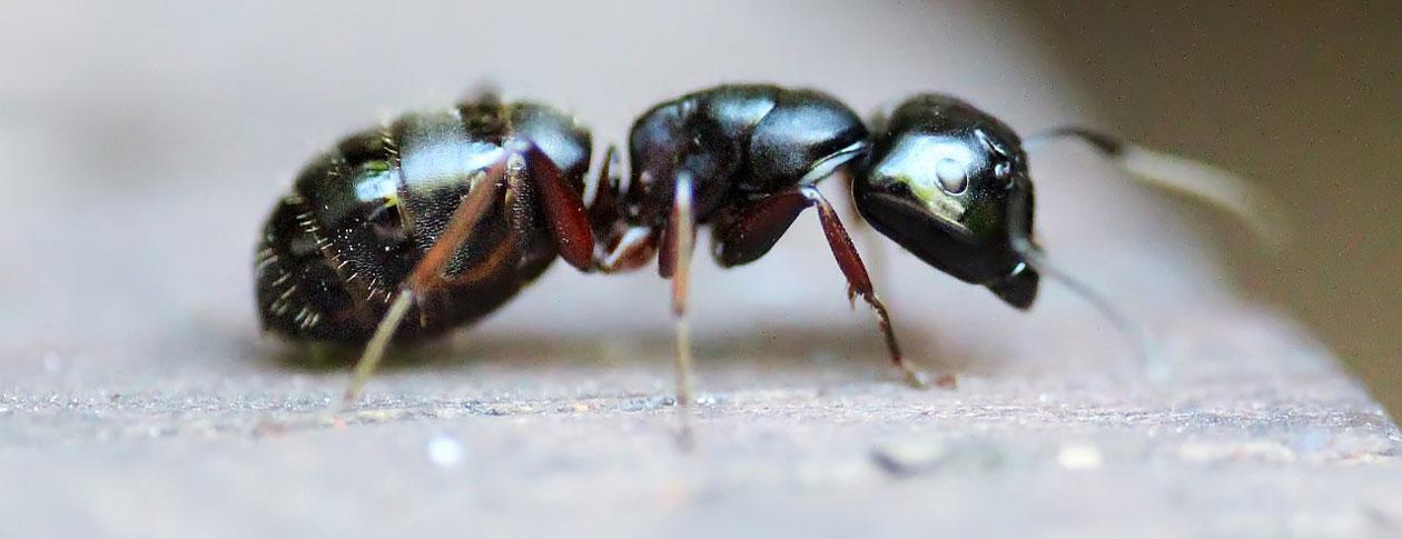 1260-ant-453348_1280