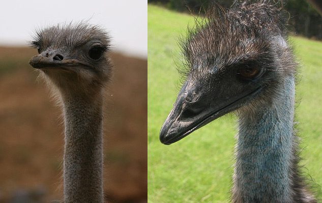 Difference Between Emu And Ostrich