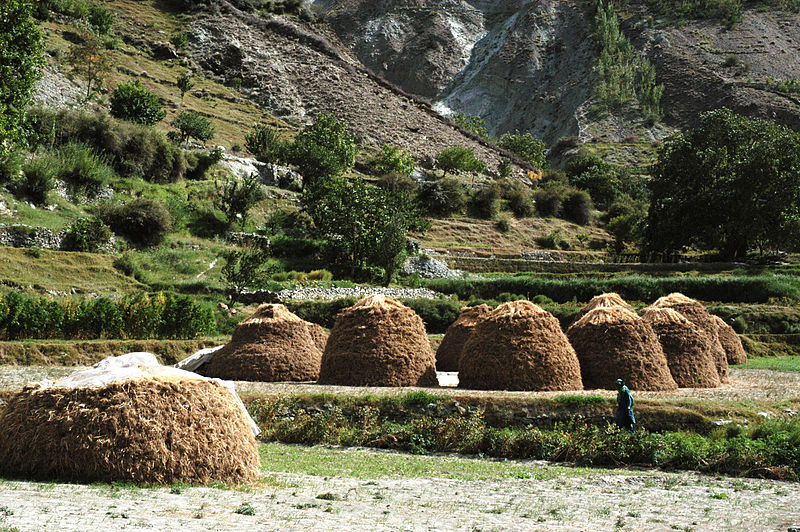 Wheat harvest, Chirah, Bagrote Valley, Gilgit Baltistan, Pakistan, 2007 by Zensky. Creative commons license via Wikimedia Commons.