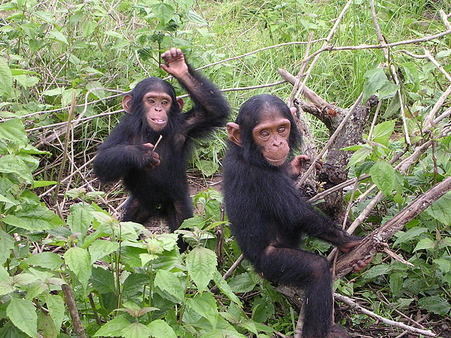 Young chimpanzees from Jane Goodall sanctuary of Tchimpounga (Congo Brazzaville). 12/9/06. Public domain via Wikipedia Commons.