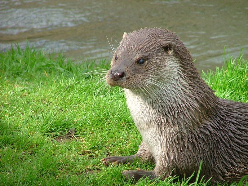 800px-Otter_in_Southwold