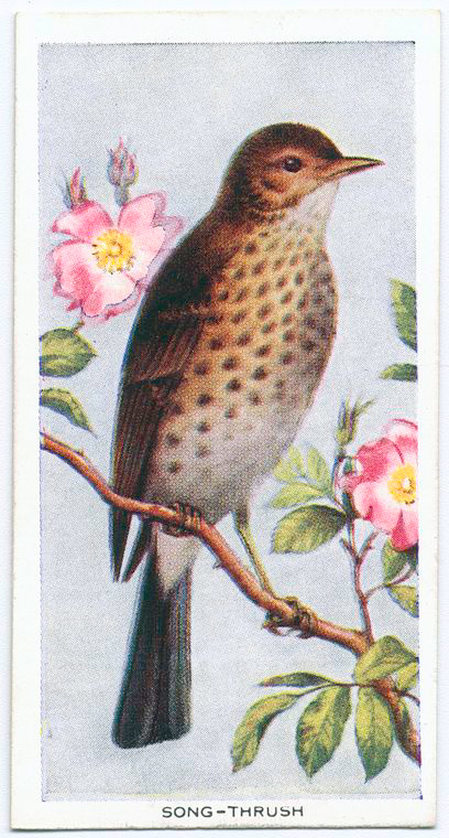 Song thrush. Digital ID: 1132614. New York Public Library