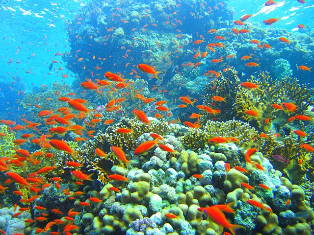 640px-Coral_reef_in_Ras_Muhammad_nature_park_(Iolanda_reef)