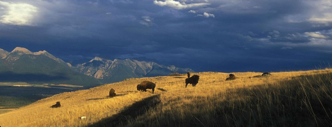 1260px-Expansive_view_of_bison_grazing_on_a_mountainside