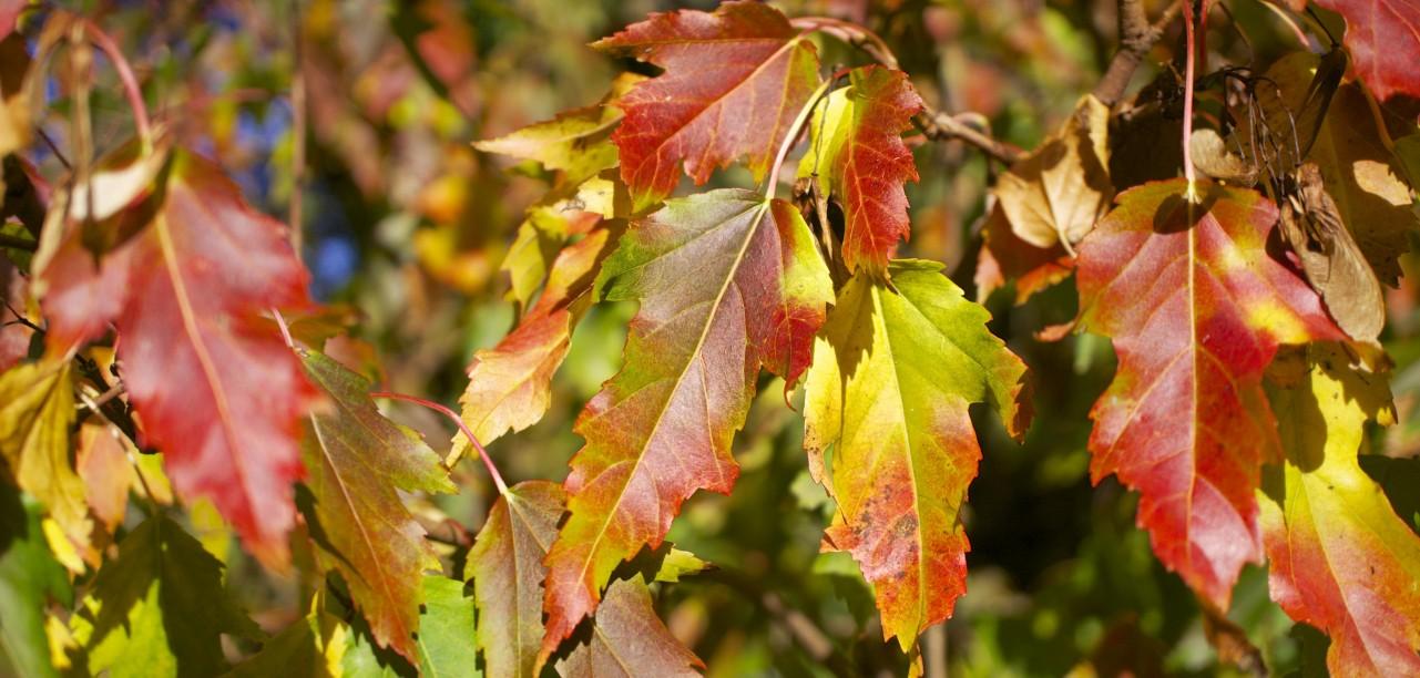 Autumn colour leafs