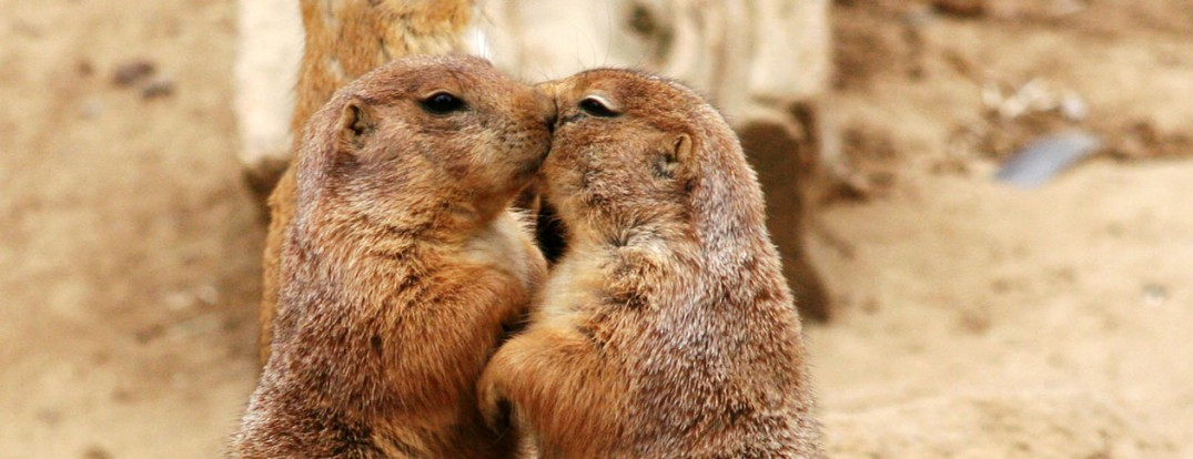 1260-Kissing_Prairie_dog_edit_3