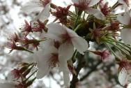 Manpukiji cherry blossom