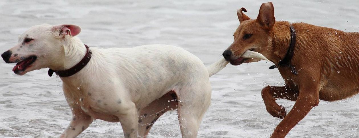 Latin Dog Breed Names