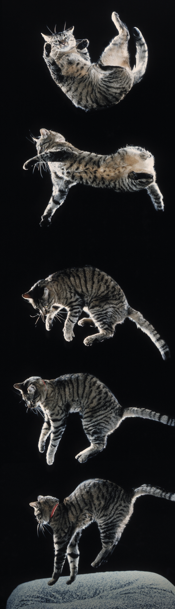 how cats land on their feet oupblog