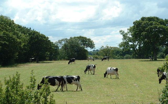 Inglewhite, Lancashire.  (Cowfield. Grazing south of Langley Lane. Photo by Chris Shaw. CC BY-SA 2.0 via Wikimedia Commons)