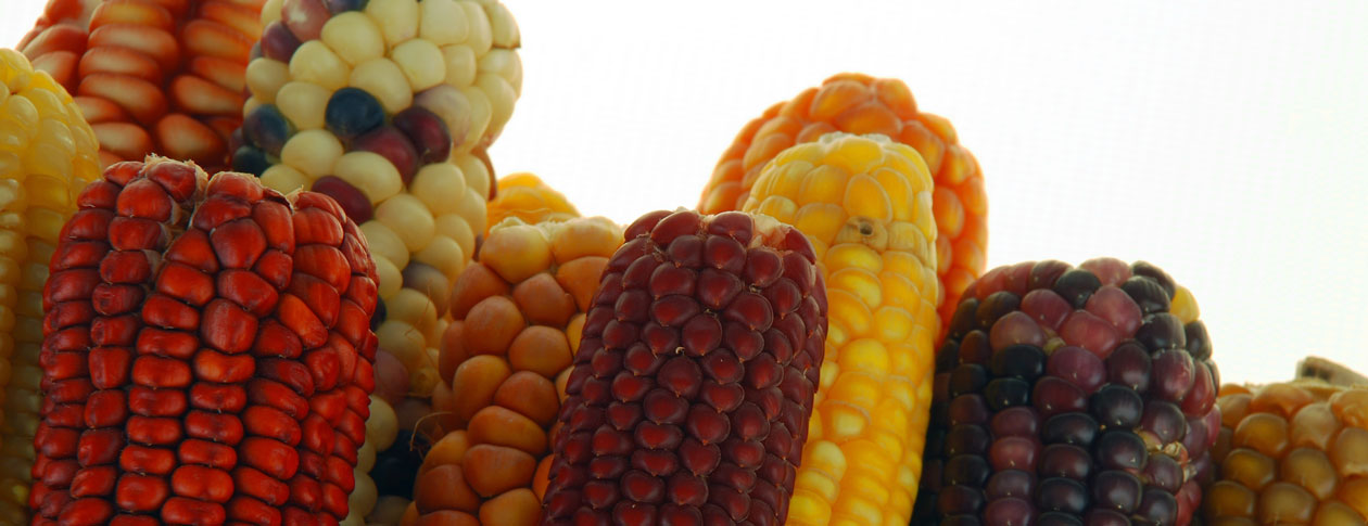 Insecticide, the fall armyworm, and maize in Mexico | OUPblog