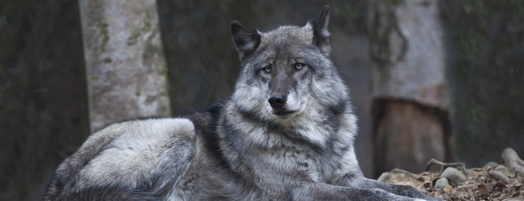 Are Wolves Endangered With Extinction In Alaska Oupblog
