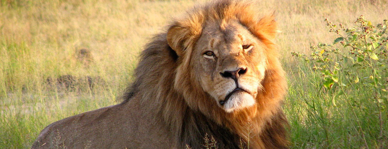 0f815efce Cecil the lion's death is part of a much larger problem | OUPblog