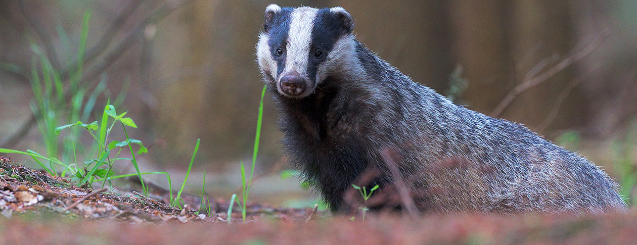 Animal of the month: nine facts about badgers