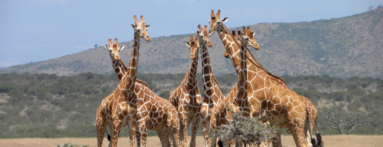 Top 10 facts about the giraffe | OUPblog