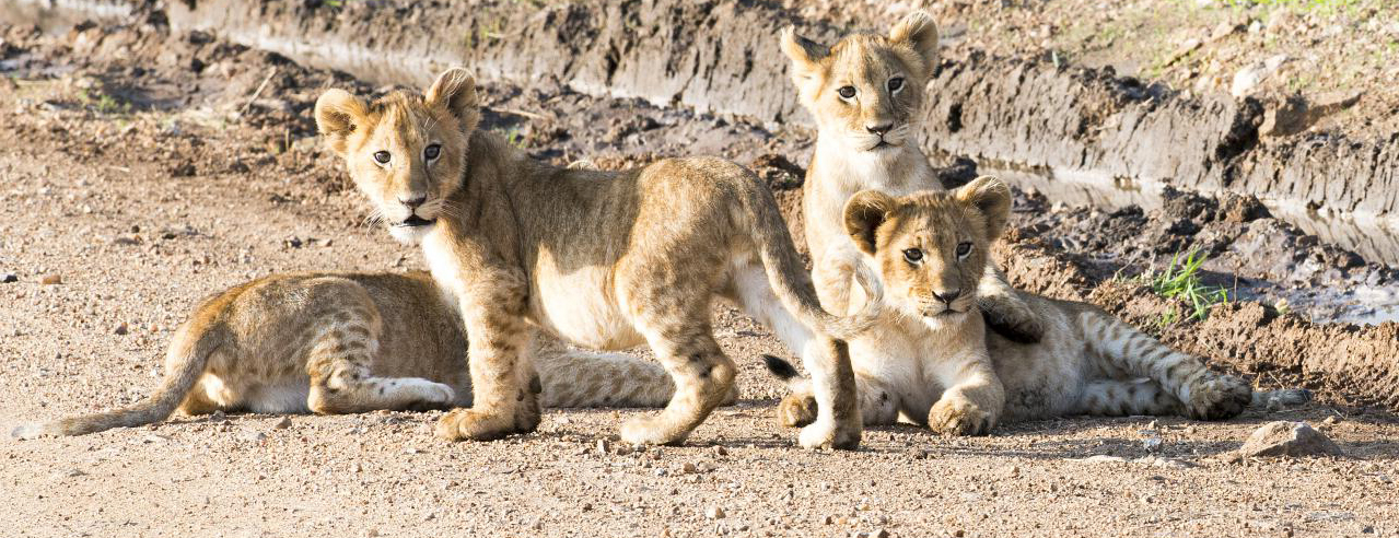Animal of the month: 10 facts about lions | OUPblog