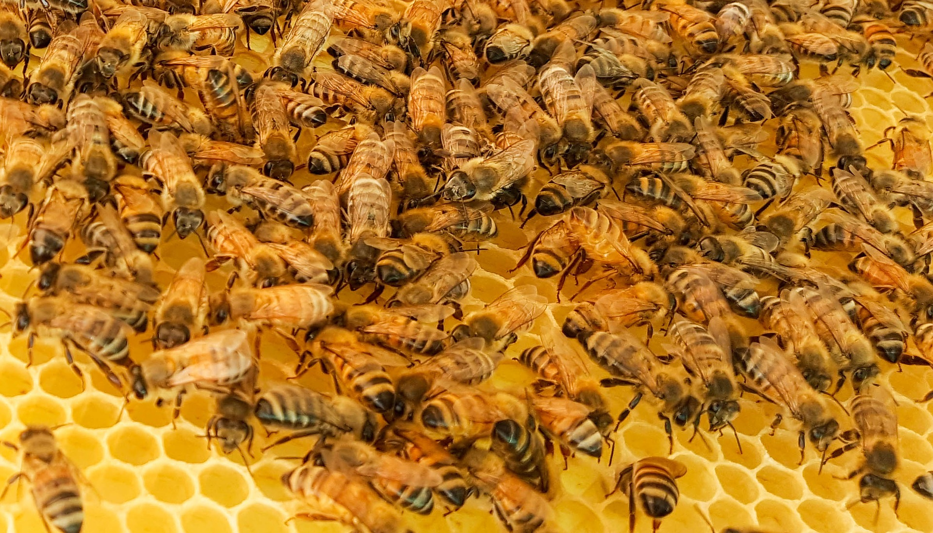 Animal of the month: the evolution of the imperfect honeybee