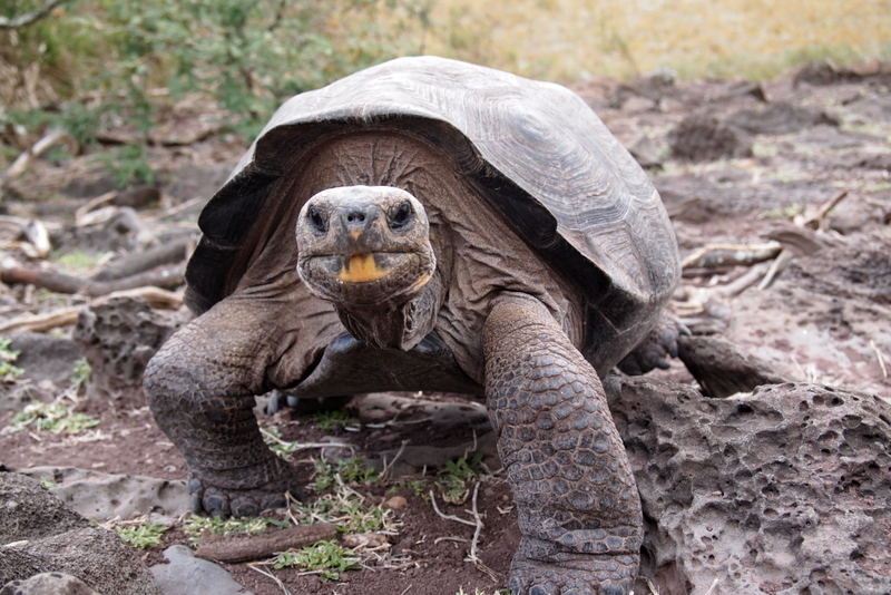 From Darwin to DNA: evolution, genomics, and conservation of the Galapagos giant tortoises