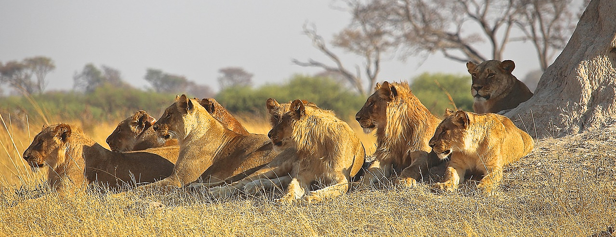 Dynasties: lions with pride | OUPblog
