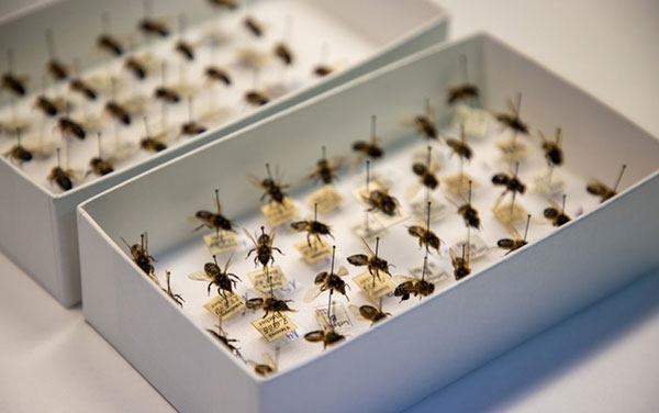 Good news for honey bees from 150-year-old museum specimens