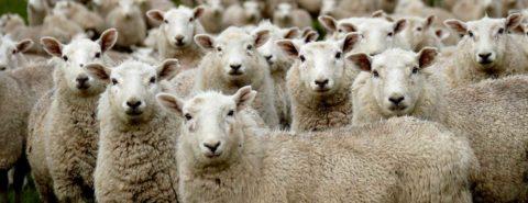Etymology gleanings for July 2021: tending my flock